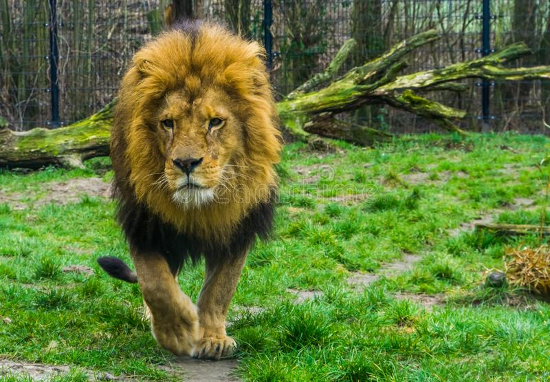Closeup of a male lion walking towards the camera, popular zoo animals, vulnerable animal specie from Africa. A closeup of a male lion walking towards the camera stock photo