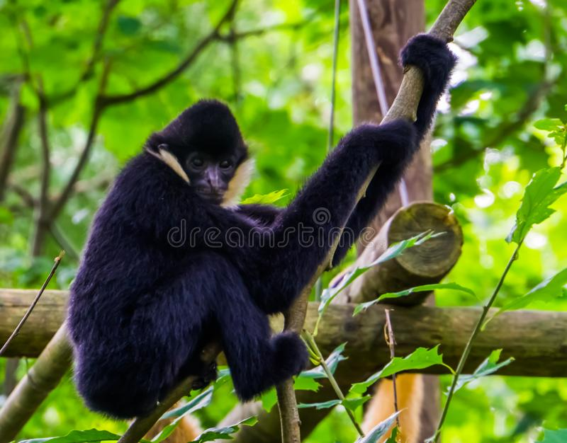 Closeup of a male northern white cheeked gibbon holding on to a tree branch, critically endangered animal specie from Asia. A closeup of a male northern white royalty free stock photo