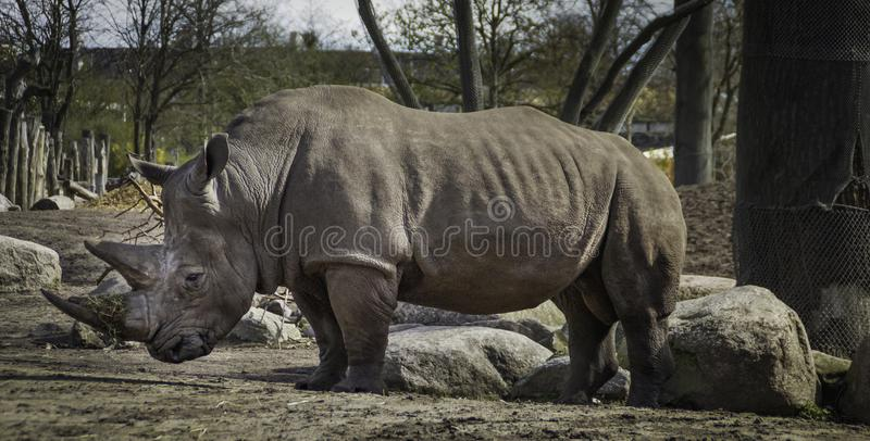 Male rhino standing in profile royalty free stock photography