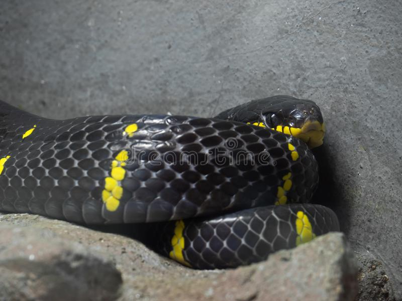 Close up Mangrove Snake or Gold-Ringed Cat Snake Coiled on The G. Closeup Mangrove Snake or Gold-Ringed Cat Snake Coiled on The Ground, Selective Focus royalty free stock image