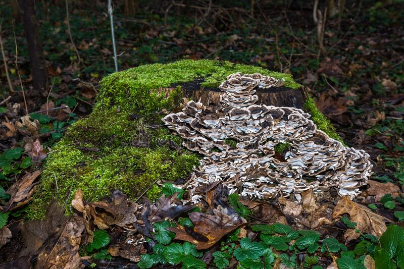 View of cut tree trunk in forest grown with green moss and many mushrooms. Closeup of many brown and white mushrooms on tree trunk in forest with green moss royalty free stock image