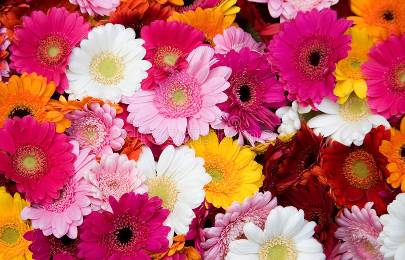Closeup of many colorful gerberas royalty free stock photo