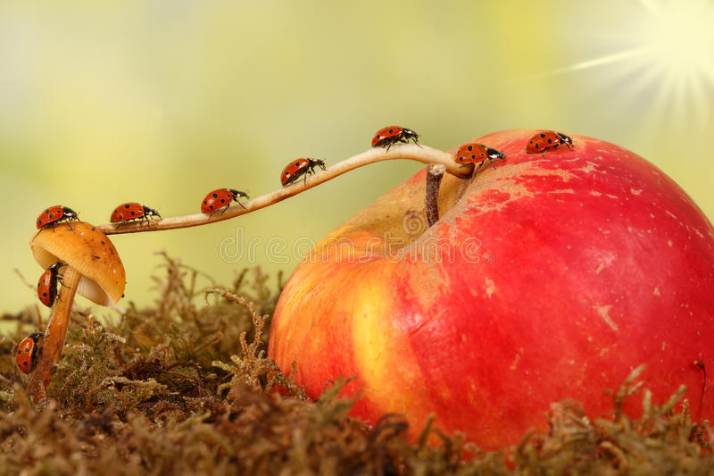Closeup many little ladybugs moves on a branch from fungus on Apple . The concept of movement or migration stock photos
