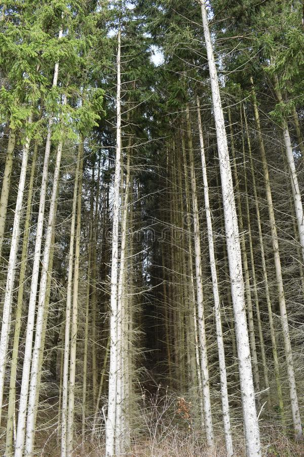 Closeup of many pine trees – can be used as a background stock photo