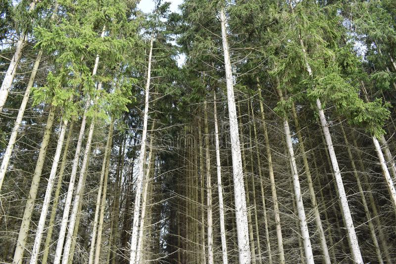 Closeup of many pine trees – can be used as a background stock photography