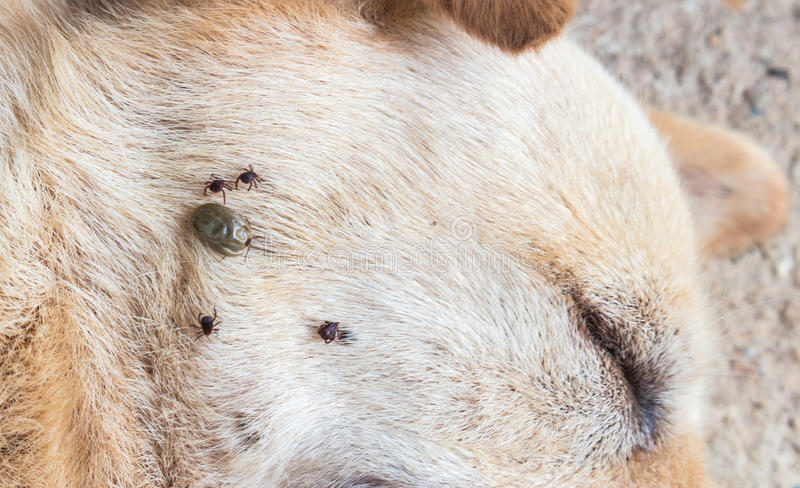 Closeup many ticks on face of dog, selective focus, pet healthy. Concept royalty free stock photography