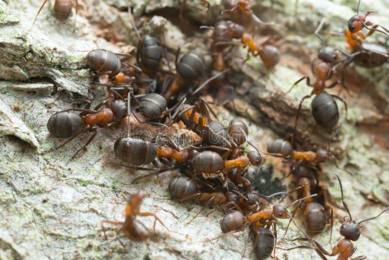 Wood ants, Formica on wood. Closeup of many wood ants, Formica on wood royalty free stock photography