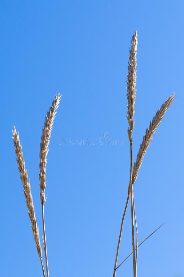 Closeup of marram grass or beachgrass (Ammophila arenaria). Against blue sky stock photo