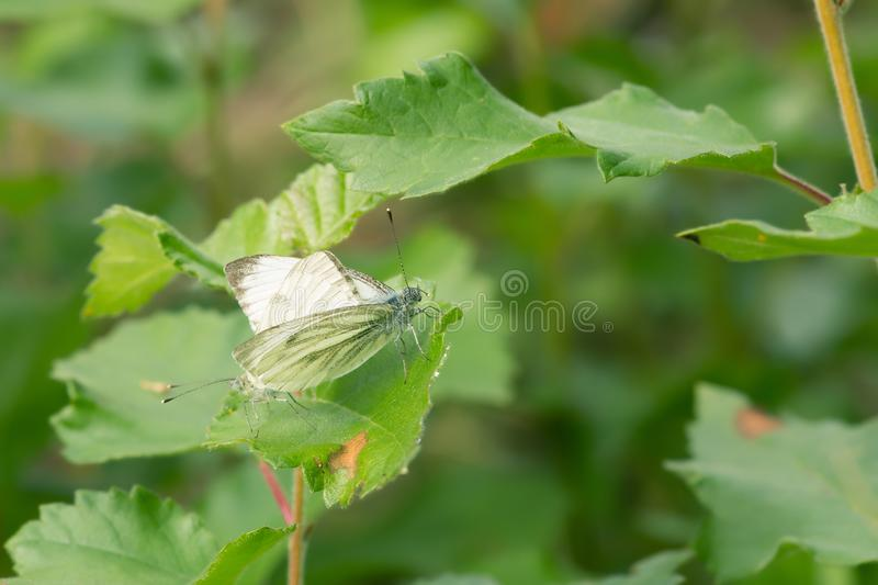 Mating pair of green-veined white, pieris napi royalty free stock photos