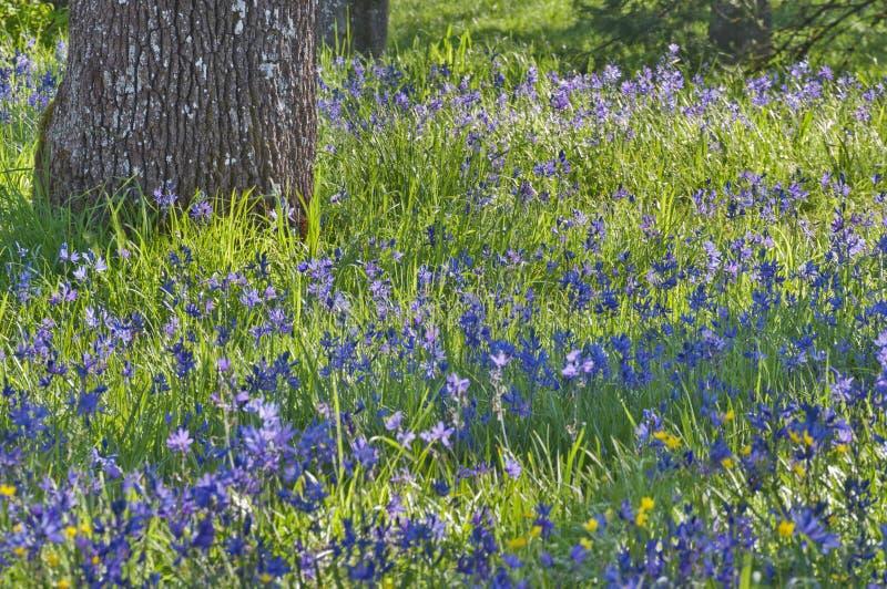 Closeup meadow of blue camas wildflowers with oak tree stock photos
