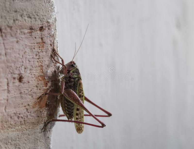 Closeup of a Meadow Grasshopper - Chorthippus parallelus sitting on the white grunge wall, focus on eye. royalty free stock images