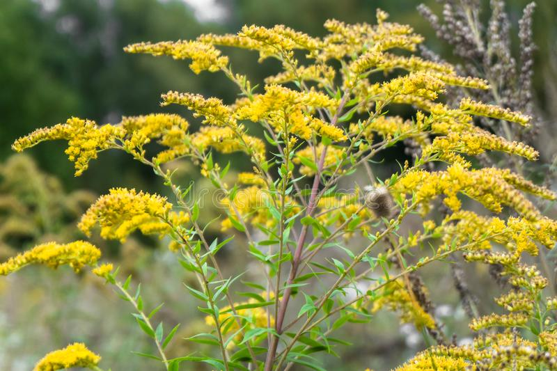 Closeup of medicinal herb Canadian goldenrod or Solidago canadensis on an autumn meadow in Moscow suburbs, Russia. Forests and meadows of the Moscow region are stock photography