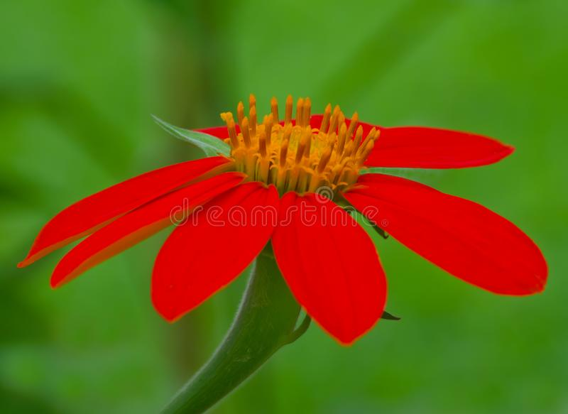 Closeup of a Mexican Torch Sunflower royalty free stock photo