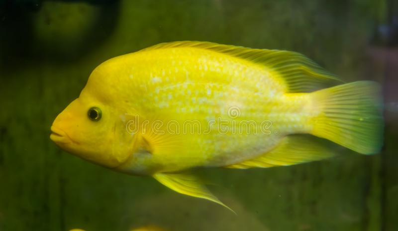Closeup of a Midas cichlid, Yellow and white colored tropical fish, exotic fish specie from Costa Rica stock image
