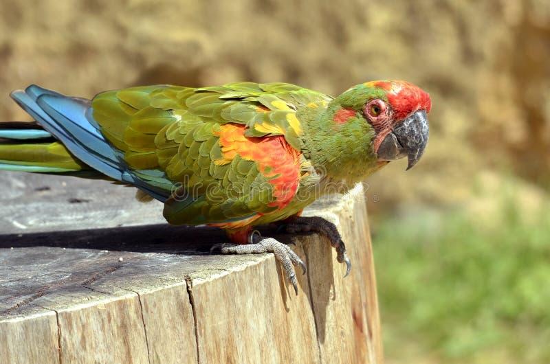 Closeup military macaw on wood trunk. Closeup military macaw (Ara militaris) on wood trunk, viewed of profile royalty free stock photos