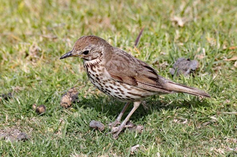 A closeup of a mistle thrush searching for his dinner in the lawn stock photography