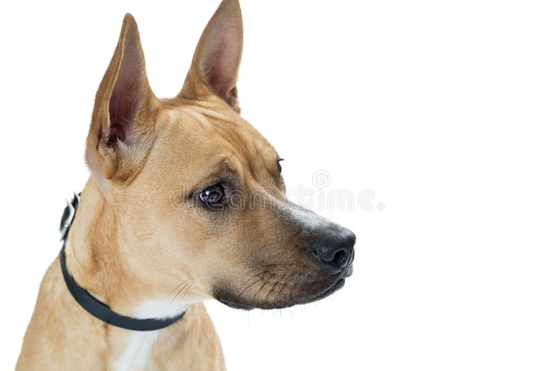 Closeup Shepherd Mix Dog Crossbreed Profile. Closeup mixed shepherd and Basenji mixed breed dog profile with white copy space royalty free stock photo