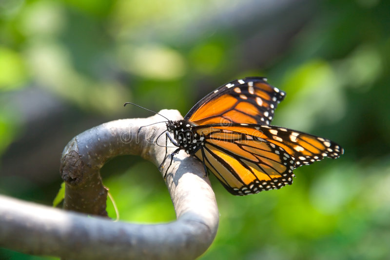 Download Closeup Of Monarch Butterfly On A Branch Stock Photos - Image: 192933