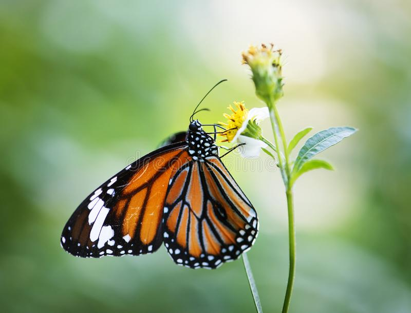 Closeup of Monarch butterfly on a flower plant stock images
