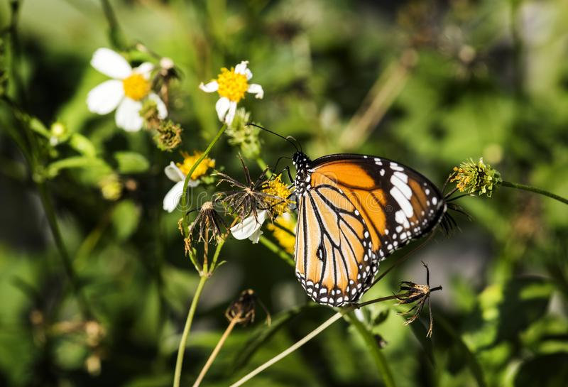 Closeup of Monarch butterfly nature stock photography