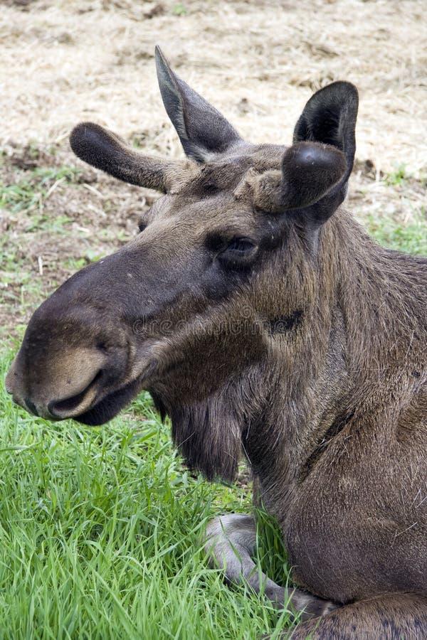Download Closeup of a moose head stock image. Image of noose, moose - 14529447