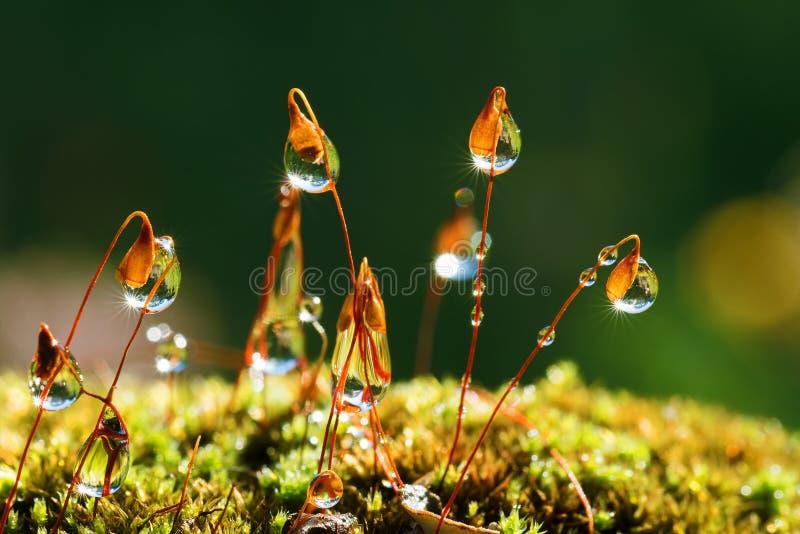 Closeup moss with Sun beams royalty free stock photo