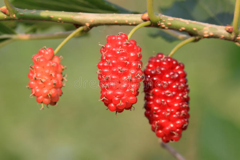 Closeup of mulberries. In an orchard royalty free stock photos