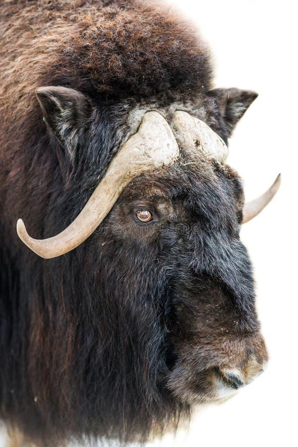 Closeup of musk-ox head stock photos