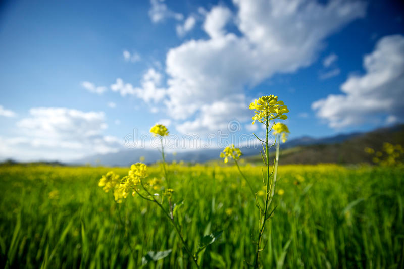 Download Closeup of Mustard stock image. Image of green, brassica - 19423141