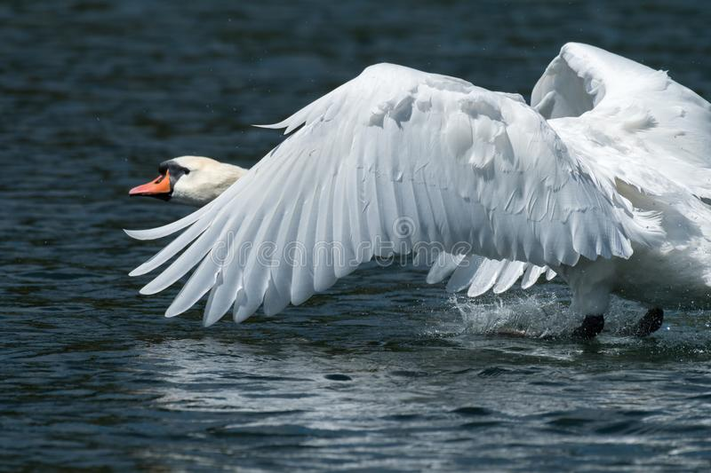 A mute swan landing on the water royalty free stock photos