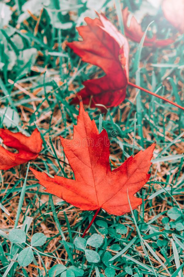 Closeup natural background with old aged red autumn fall maple leaves on green grass royalty free stock images