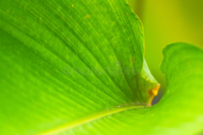 Closeup natural view of green leaf with copy space using as nature background or wallpaper. Closeup natural view of green leaf with copy space using as nature royalty free stock image