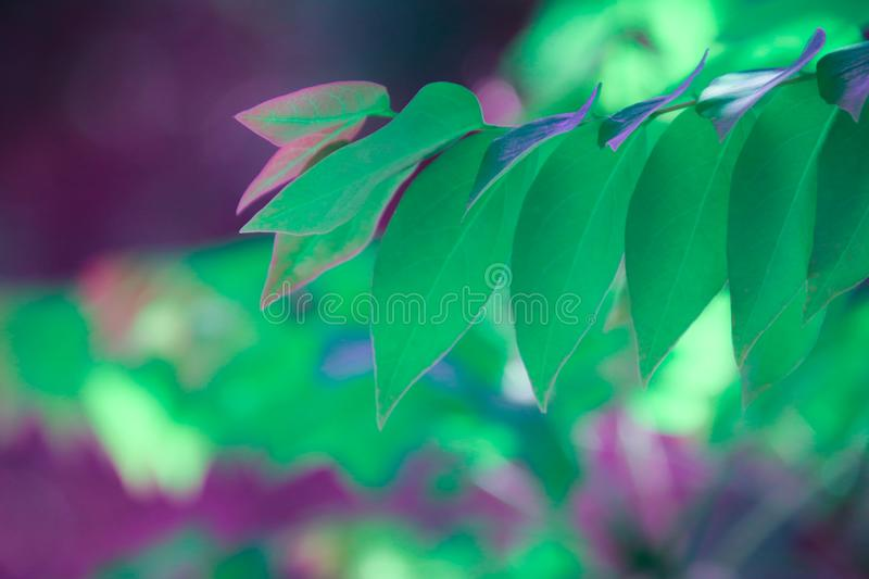 Closeup of nature leaves green,Creative purple tone colour of fresh green,Use as background and wallpapers stock photography