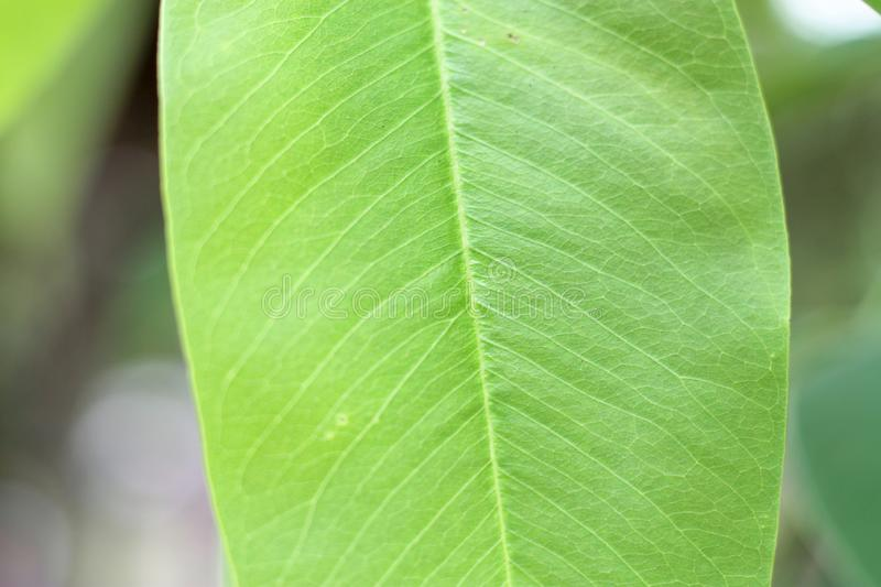 Closeup nature view of green leaf with copy space using as background natural green royalty free stock images