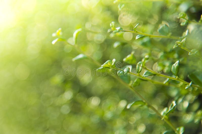Closeup nature view of green leaf in garden at summer .Close up of green leaf with rain drop. Nature background and wallpaper stock photos