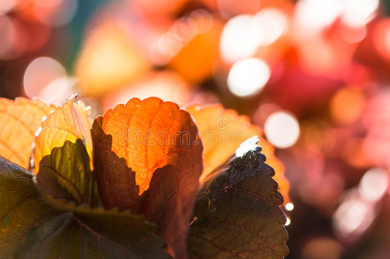 Closeup nature view of Red leaf texture on blurred background royalty free stock image