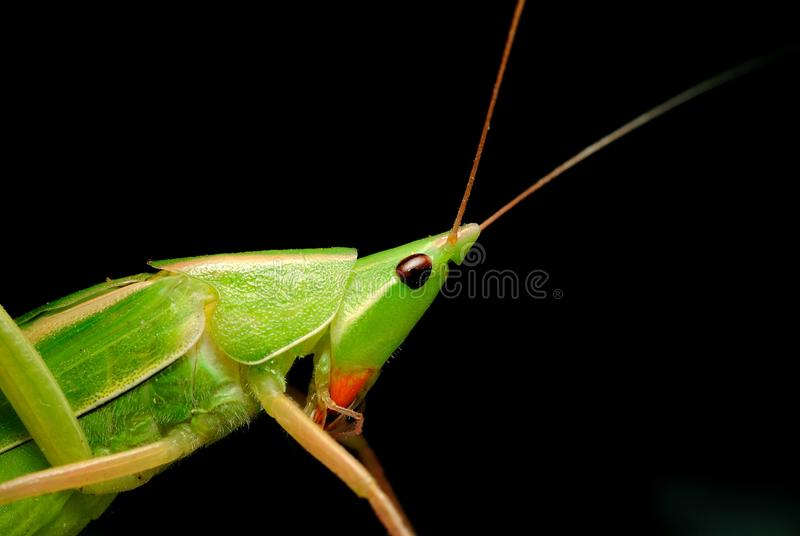 Closeup of Neoconocephalus genus green katydid or long horned coneheaded grasshopper. Neoconocephalus genus green katydid or long horned coneheaded grasshopper royalty free stock images