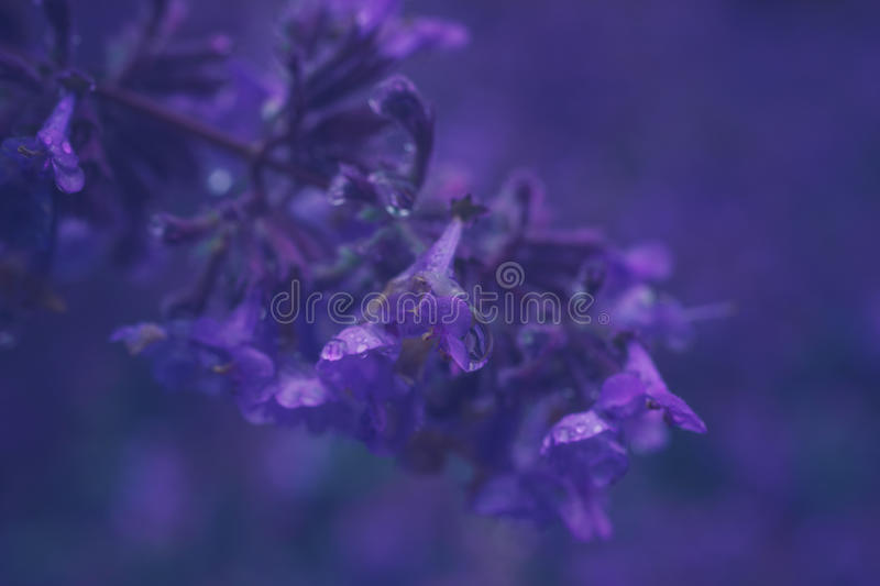 Closeup on Nepeta cataria or catnip flowers. With drops after rain. Toned image, shallow depth of field stock photos