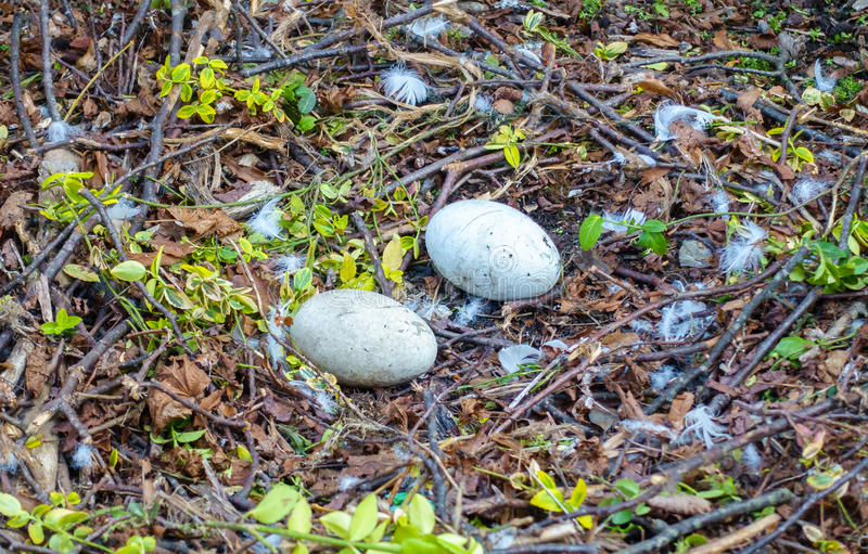 Closeup of a Nest with Two Swan Eggs stock photo