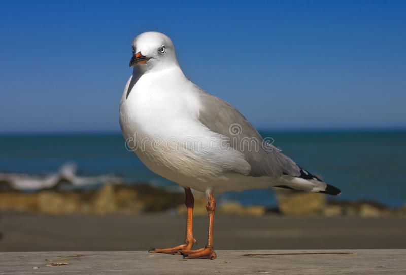 Closeup Of  New Zealand Gull Royalty Free Stock Images