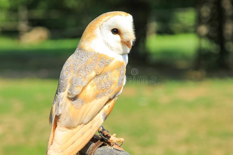 The barn owl. Closeup of nocturnal barn owl, Tyto alba, in the wilderness with green park background. falconry birds of prey stock image