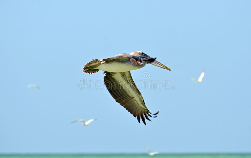A North American brown pelican flapping wings down while flying showing beautiful feather detail. stock photos