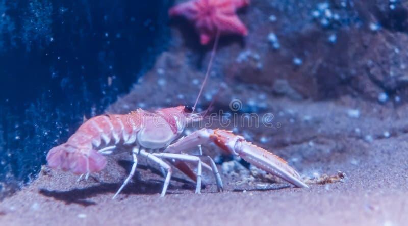 Closeup of a norway lobster on the bottom of the aquarium, popular pet in aquaculture. A closeup of a norway lobster on the bottom of the aquarium, popular pet stock photo