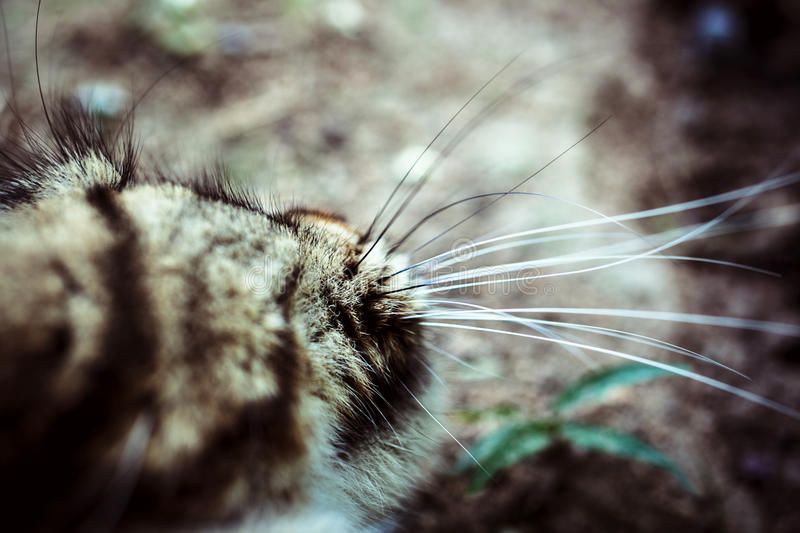 Closeup nose whiskered of Maine Coon black tabby. Closeup nose of Maine Coon black tabby cat royalty free stock photos