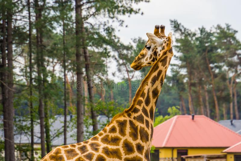 Closeup of a Nubian giraffe, Sub specie of the northern giraffe, Critically endangered animal species from africa. A Closeup of a Nubian giraffe, Sub specie of royalty free stock image