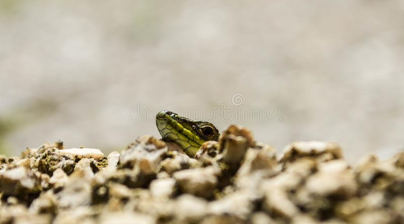 Closeup green lizard-gecko- hiding behind the wall/ Creepy in the wild nature. Wild life next to man stock photos