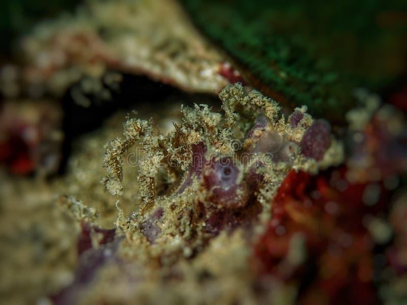 Closeup och makro som skjutas av havsspindeln, under en fritiddyk i Tunku Abdul Rahman Park, Kota Kinabalu, Sabah Malaysia Borneo royaltyfria foton