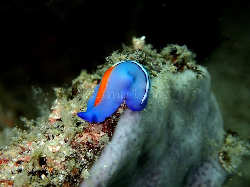 Closeup och makro som skjutas av Röd-tippad Flatworm i den Mabul ön, Semporna, Tawau Sabah Malaysia st?der royaltyfria foton