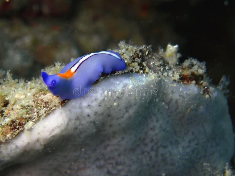 Closeup och makro som skjutas av Röd-tippad Flatworm i den Mabul ön, Semporna, Tawau Sabah Malaysia st?der arkivfoto