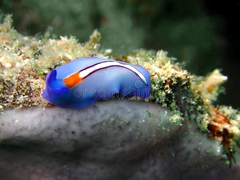 Closeup och makro som skjutas av Röd-tippad Flatworm i den Mabul ön, Semporna, Tawau Sabah Malaysia st?der royaltyfria bilder